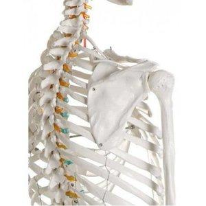 Skelet Oscar