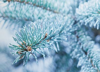 Icy Blue Spruce