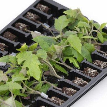 Moestuinplant Mixpakket geënte tomaten planten