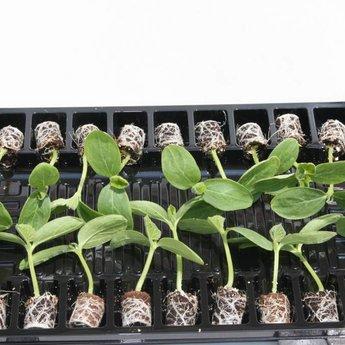 Moestuinplant Mixpakket diverse geënte  komkommerplanten