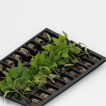 Rode paprika planten