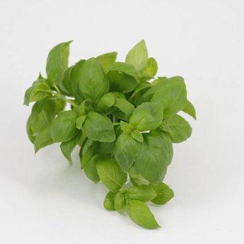 Moestuinplant basilicum planten