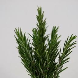 Moestuinplant rozemarijn (9 planten)