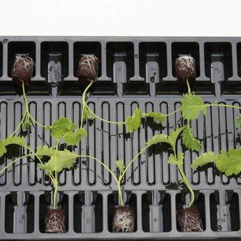 Moestuinplant Boerenkool planten
