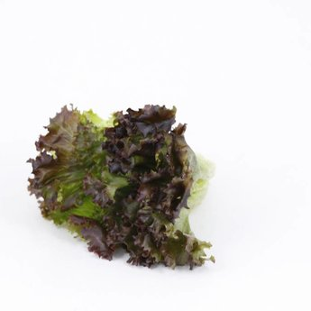 Moestuinplant Lollo rosso slaplanten