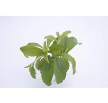 Stevia suikerplanten