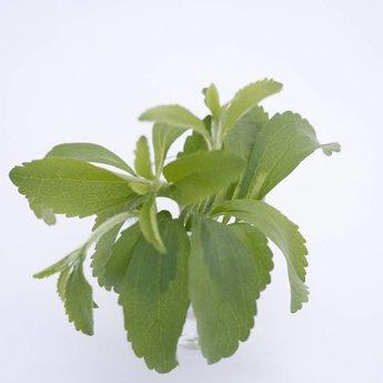 Moestuinplant stevia suikerplanten