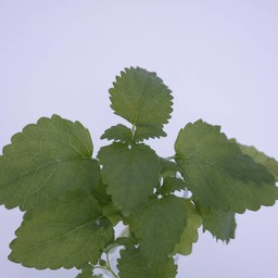 Citroenmelisse (18 planten)