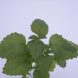 Moestuinplant Citroenmelisse (9 planten)