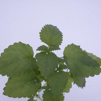 Moestuinplant Citroenmelisse planten