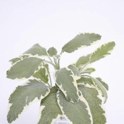 Moestuinplant Salvia (18 planten)