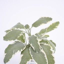 Moestuinplant Salvia (9 planten)