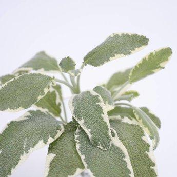 Moestuinplant Salvia planten