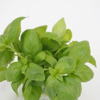 Moestuinplant Basilicum potkruiden (3 x potplanten)