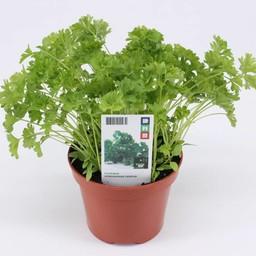 Moestuinplant Peterselie (3 planten)
