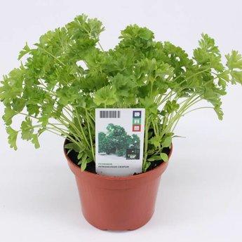 Moestuinplant peterselie potkruiden (3 x potplanten)