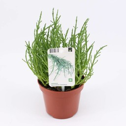 Moestuinplant Zeekraal (3 planten)