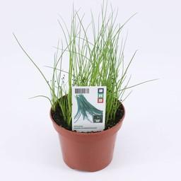 Moestuinplant Bieslook (3 planten)