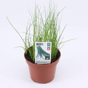 Moestuinplant Bieslook potkruiden (3 x potplanten)