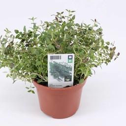 Moestuinplant Tijm (3 planten)