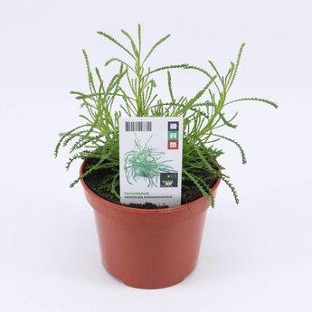 Moestuinplant Olijvenkruid (3 x potplanten)