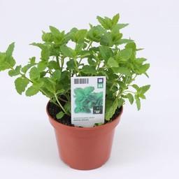 Moestuinplant Marokkaanse munt (3 planten)