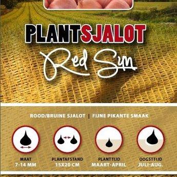 250 gram plant sjalotten red sun