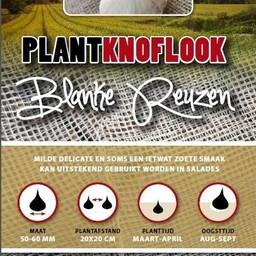 Moestuinplant Plantknoflook Blanke Reuzen 250 Gram