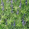 Moestuinplant Groenbemester Lupine 100 Gram