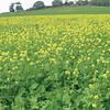 Moestuinplant Groenbemester Gemengd 1Kilo