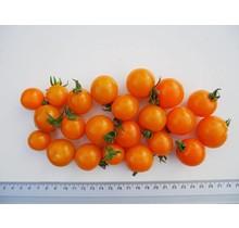 Geënte oranje cherrytomaten planten