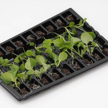 Moestuinplant Chinese kool planten