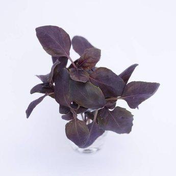 Moestuinplant Rode basilicum planten