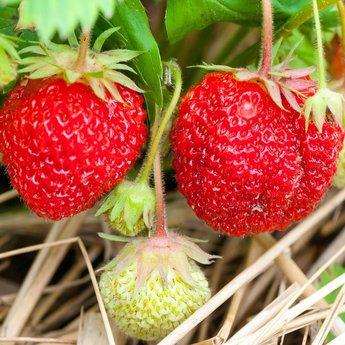 Moestuinplant Aardbeien planten ''Elsanta''