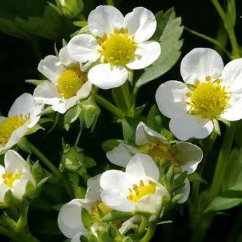 Moestuinplant Aardbeien planten ''Senga Serngana''
