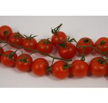 Geënte cherry tomaten  planten