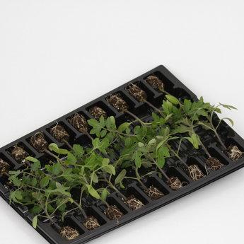 Moestuinplant Geënte Chocola trostomaten planten