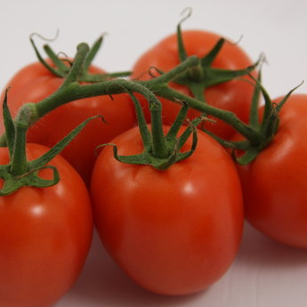 Moestuinplant Geënte Pruim tomaten planten