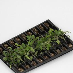 Moestuinplant Geënte San Marzano tomaten (9 planten)