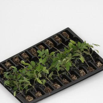 Moestuinplant Geënte San Marzano tomaten planten