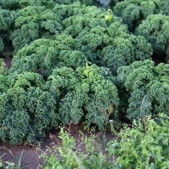 Moestuinplant mixpakket diverse koolplanten '' winterhard''