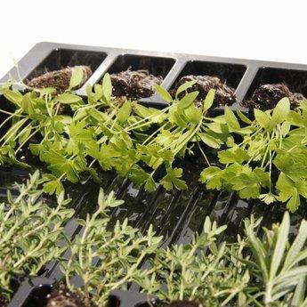 peterselie planten