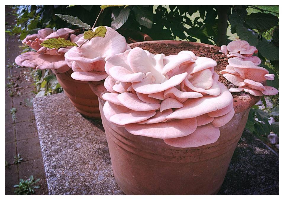 Pilzpaket Pilzpaket Blumentopf Pilzzuchtset Rosenseitlinge zur Herstellung von eigenem Pilzsubstrat