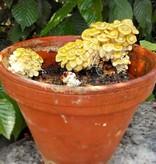 Pilzpaket Pilzpaket Blumentopf Pilzzuchtset Zitronenseitlinge zur Herstellung von eigenem Pilzsubstrates
