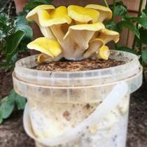 Pilzpaket Pilzpaket Blumentopf Pilzzuchtset taubenblaue Austernpilze  zur Herstellung von eigenem Pilzsubstrates