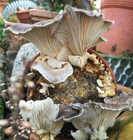 Pilzpaket Sommer Austernpilze Blumentopf Pilzzuchtset