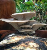Pilzpaket Pilzpaket Blumentopf Pilzzuchtset graue Austernpilze  zur Herstellung von eigenem Pilzsubstrates