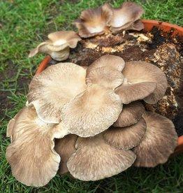 Pilzpaket Pilzzuchtset für Schulklassen, Kindergärten und andere Gruppen