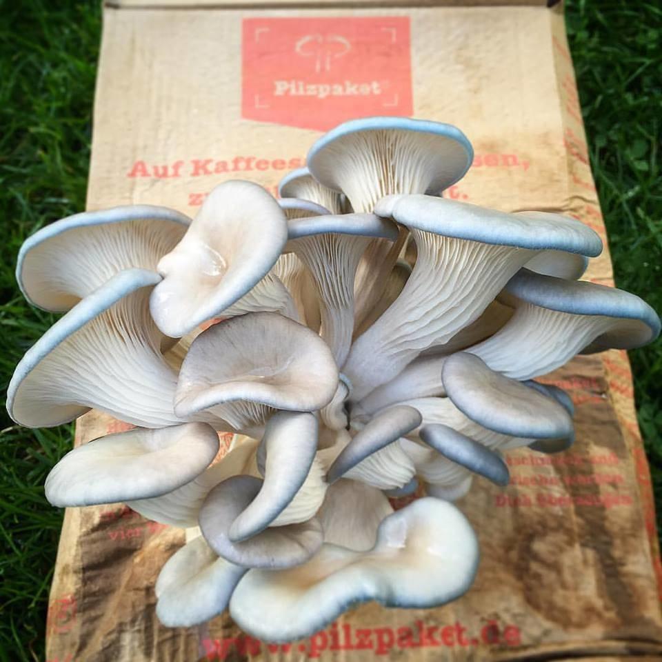 Pilzpaket 2 Pilzpaket Pilzsubstrate + 2 Pilzzuchtset gratis!