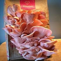 Pilzpaket Austernseitlinge, Kalbfleischpilz, Kalbsfleischpilz